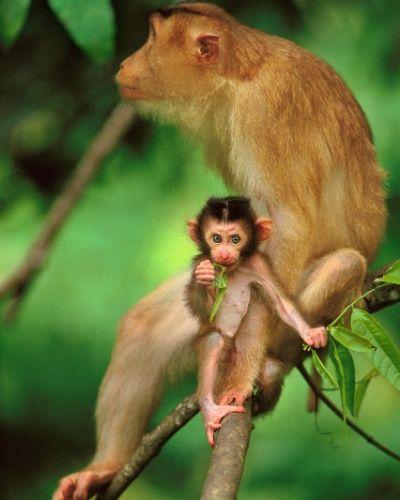 O filhote de macaco-rabo-de-porco e sua mãe estão em casa na floresta do Parque Nacional de Bako, no Bornéu. A ilha é referência de natureza intocada no mundo, mas tem servido historicamente para exploração de recursos naturais - muitos dizem saqueada - por sucessivos povos invasores.  Fotografia: Frans Lanting / National Geographic Creative.
