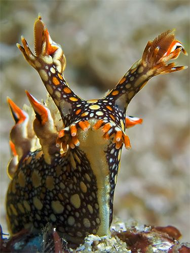 The Snakey bornella is a large species of nudibranch that can grow up to 8cm. It has a very characteristic mosaic-like colour pattern.