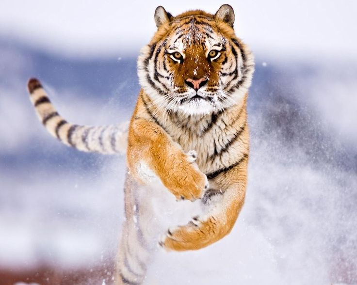 Amur tiger in snow hd imac windows mac desktop wallpaper