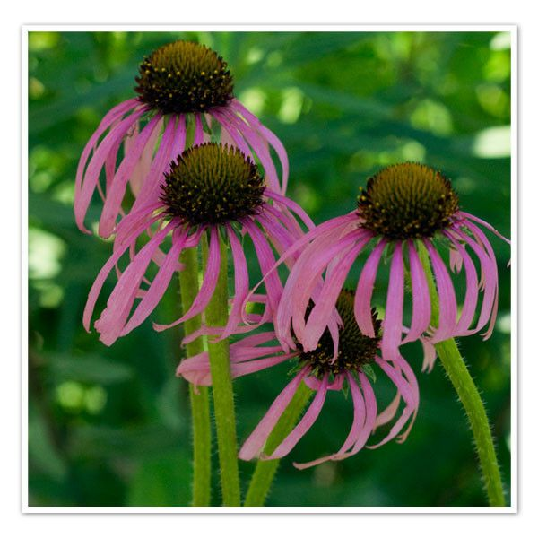 8 best missouri native plants images on pinterest