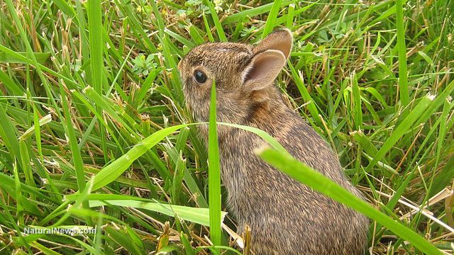 Baby rabbit calls out to be saved from deadly snake