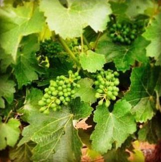 Fruit Set in the Vineyards