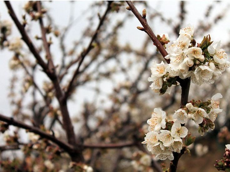 El 'hanami' es una tradición japonesa que consiste en disfrutar de la belleza de las flores y, especialmente, de la floración de árboles como los cerezos.