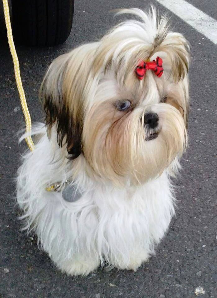 295 best images about Shih Tzus Are the Best Dogs Ever on ...