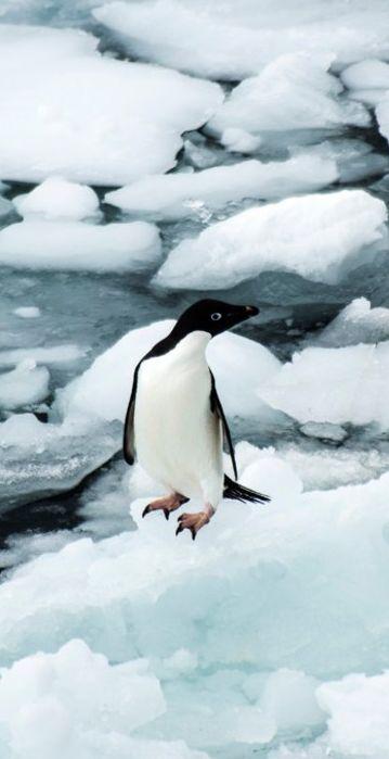 Manchot Adélie sur l'île de Ross, en Antarctique / Source : Communauté photo GEO, © Nicolas Bayou