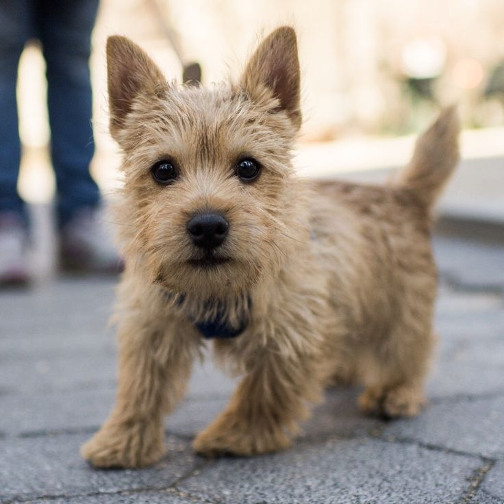 "Watson, Norwich Terrier (4 m/o), Madison Square Park, New York, NY • ""He's going to be a great terrier. He's just finding his confidence at the dog park."""