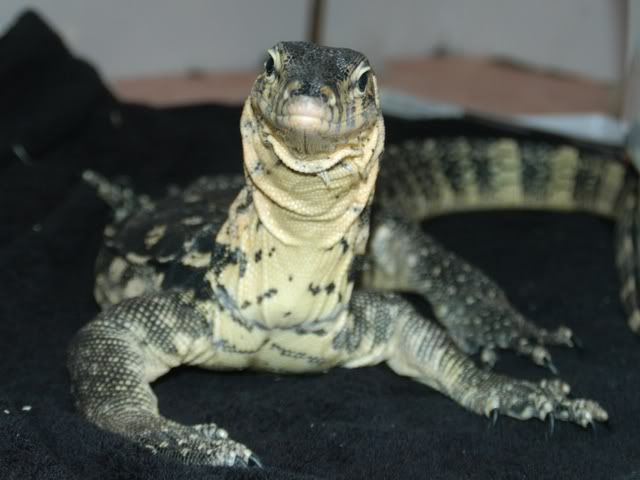 90 best water monitor images on pinterest for Water lizard fish