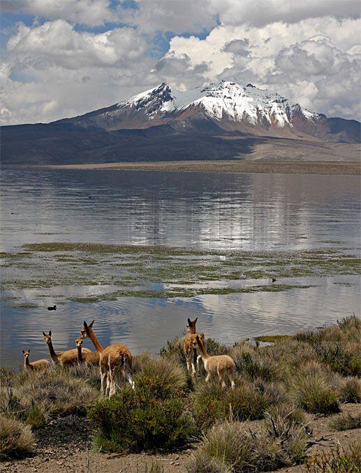 Wild Vicunas in Park Lauca, Chile