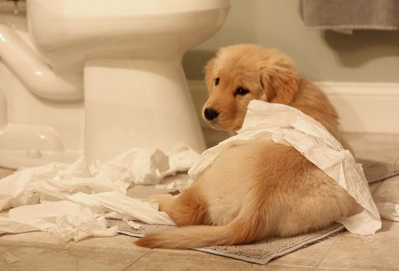 Can I Give My Dog Imodium For Diarrhea Dogs Retriever Puppy