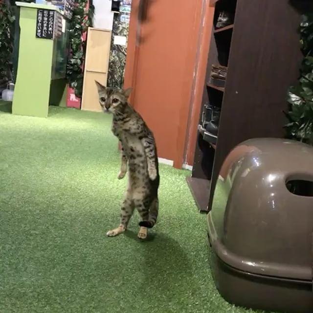 【衝撃映像】 猫はもうここまで進化していた : 〓 ねこメモ 〓
