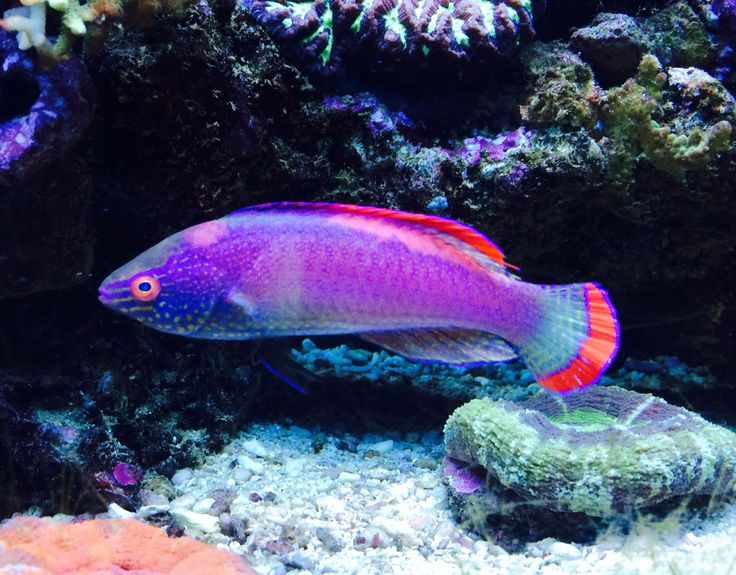 17 best images about reef safe fish on pinterest for Yellow saltwater fish