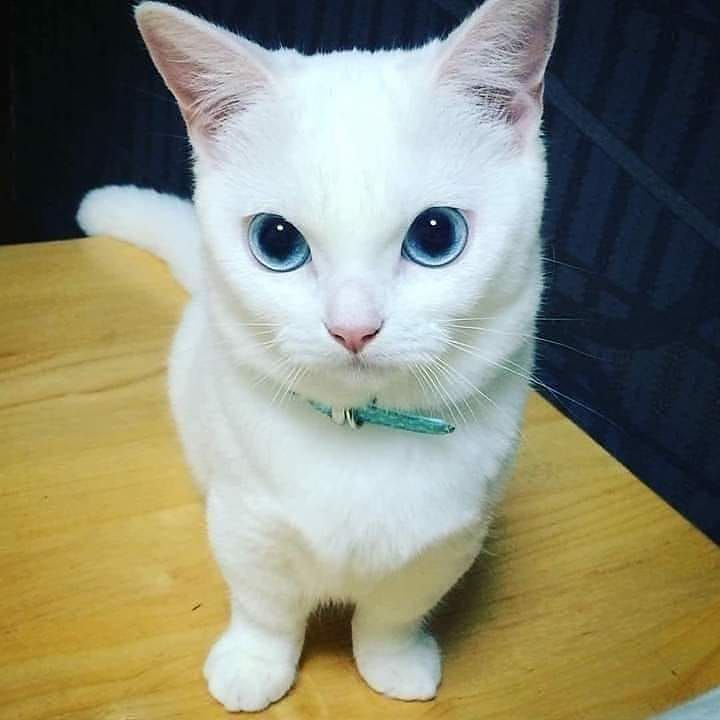 Those Blue Eyes Follow Catsfanclubs For More Stuff Catphoto Cats Of Instagram Catloversday Cats Of Ig Catfa In 2020 Happy Cat Cat With Blue Eyes Cute Cats