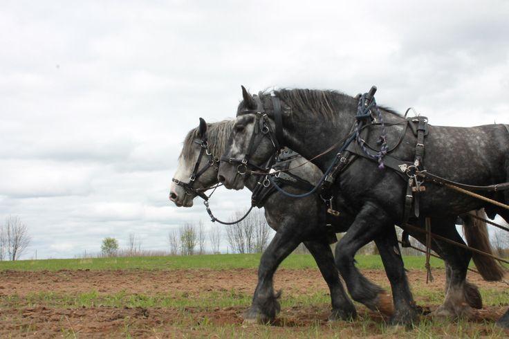 Percheron studs Pläsi and Parooni harrowing. Farming with heavy draft horses. www.tyohevoset.fi
