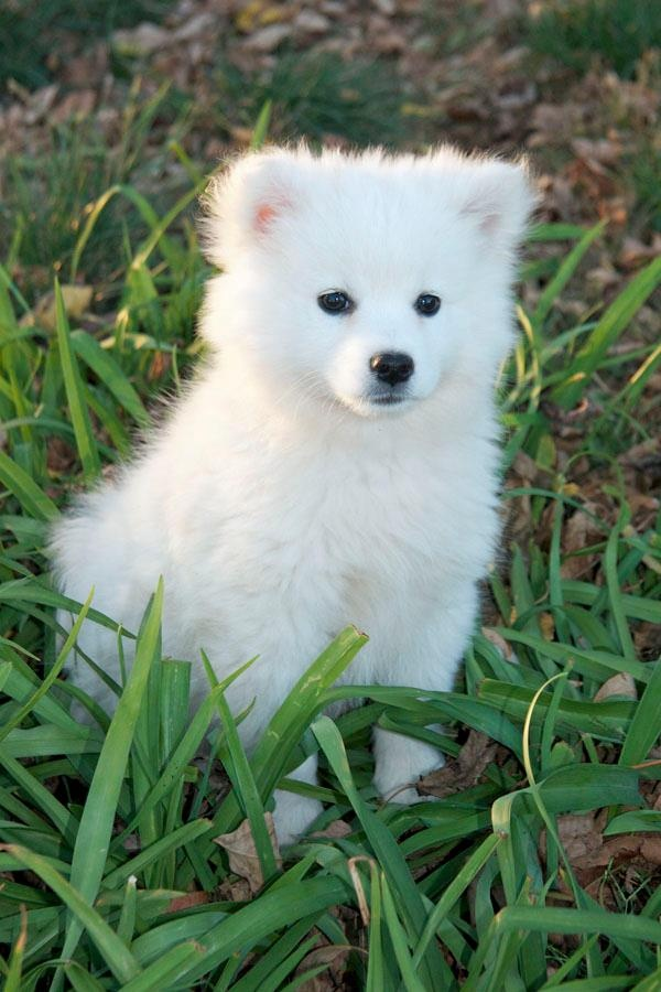 42 Best My American Eskimo Dog Obsession Images On Pinterest