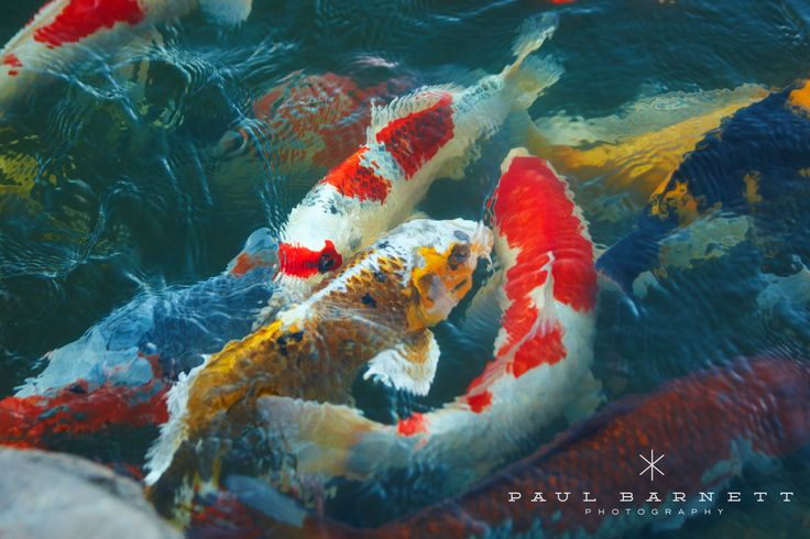 45 best koi images on pinterest goldfish exotic fish for Koi pool santa