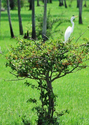 San-Fernando-Apure, Estado-Apure F.B.Vestida de garza blanca., Autor: filippo bilotti