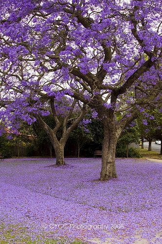 Jacaranda (Jacaranda mimosifolia) Origin: Brazil. Bloom in Spring. For about one month, these trees are spectacular. Origin: Brazil.