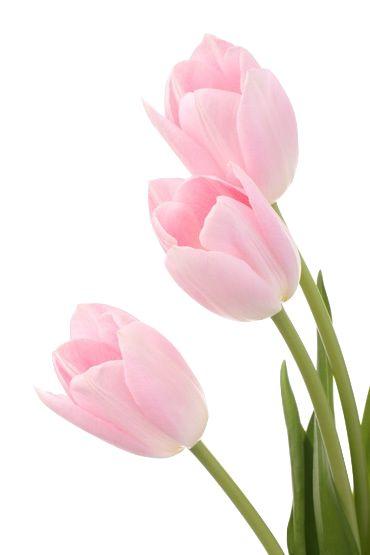 fraiseau:  transparent tulips