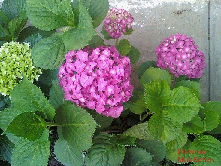 Las 25 mejores ideas sobre hortensias en pinterest for Hortensias cultivo y cuidados