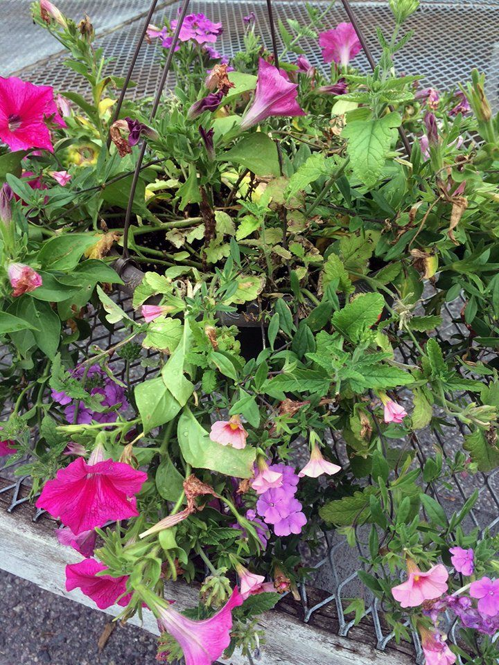 Annuals Archives Hyannis Country Garden Planting Flowers Country Gardening Hanging Baskets