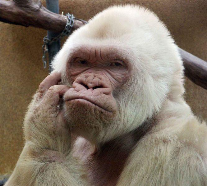 albino gorilla, zoo barcelona