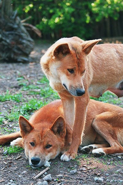 Dingoes (Canis lupus dingo) are a 'native' species of dog.  Introduced by Asian settlers approximately 2,000-11,000 years ago.  It is an apex predator and Australia's largest land predator.