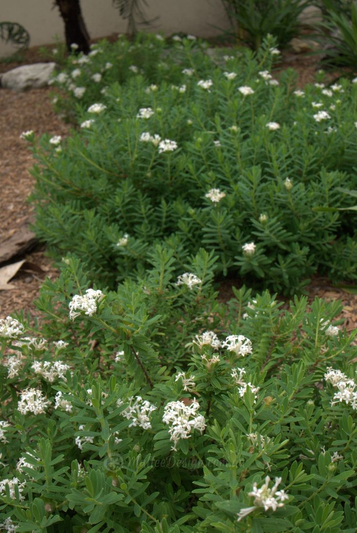 low growing form of Pimelea linifolia called 'White Jewel'  30cmHigh x 60cmWide ground cover and  an edging plant and also a great small feature plant, that flowers year round, here you can see it planted in groups to mimic a larger plant.