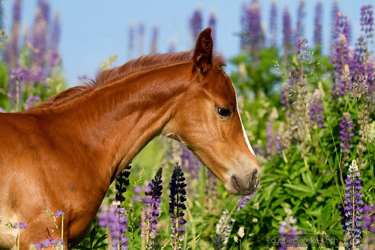 AQH foal in spring among flowers