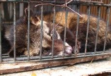 PETA has released video footage from a new undercover investigation into civet coffee farms in Indonesia and the Philippines. What's a civet coffee farm? It's a place where civets are kept in tiny, barren cages and forced to eat only coffee berries so that when they poop them out, farmers can pick out the undigested coffee beans and sell them at ridiculously high prices. Forcing these animals to live in a cage is as messed up as drinking poop coffee. REFUSE THE BUY & SELL OF CIVET COFFEE!