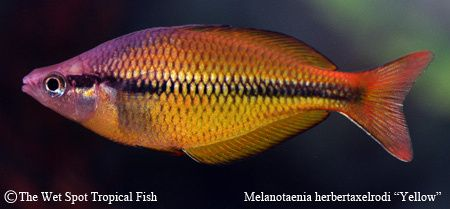 178 best images about rainbowfish of australia and new for Yellow rainbow fish