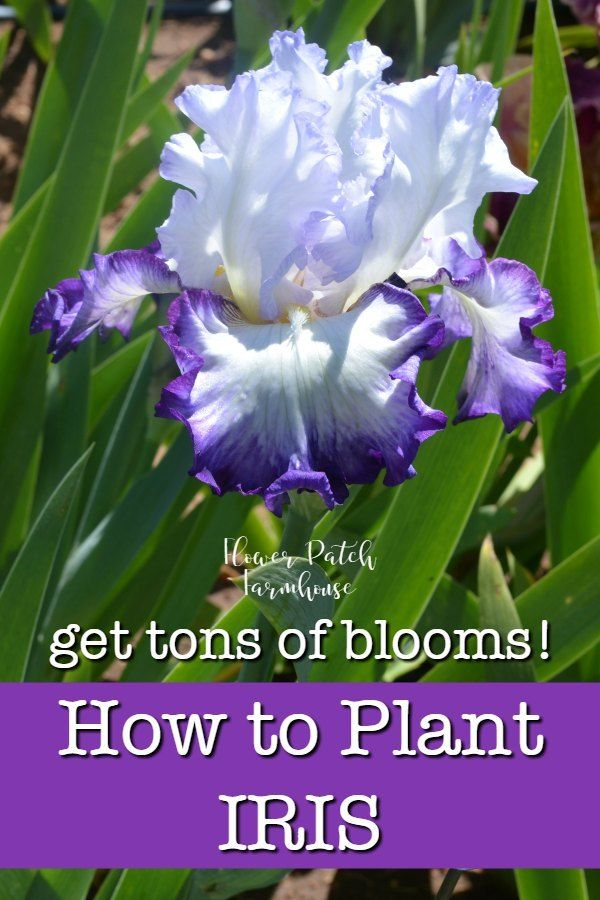 How To Plant Iris And Do It Right Iris Flowers Garden Plants Growing Irises