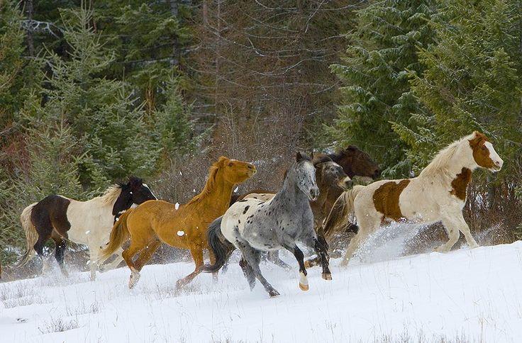 Horses-Grace and Beauty - Jim Zuckerman Photography - Horses running in snow, near Kalispell, Montana