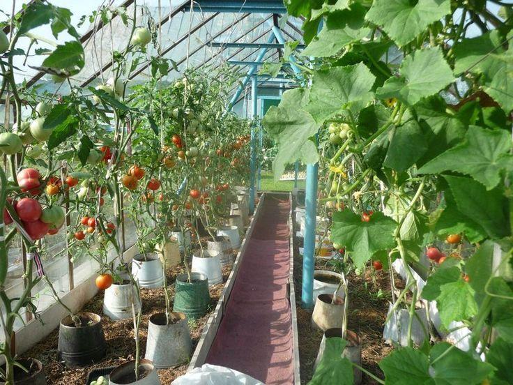 Томаты в ведрах: супер ранний урожай!