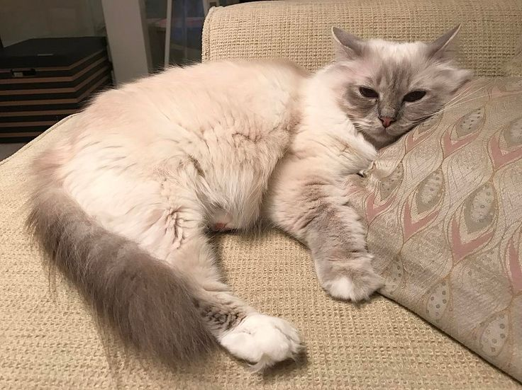 Our furriend @belleandbronte tagged us to join the #7factsaboutme and #10factsaboutme challenge so I start with #vanilj  1 I'm mommys first birman and I'm the Queen in our household  2 I fearless and love to walk outside with my Mommy  3 My mommy cat was a lovely Lilac point birman Mira and my daddy cat is sealtabby point Skatten  4 I have a Lilac tabby brother Kalle  5 I love to drink water from the tap  6 My best friend is #choklad I really Love my #bff  7 I eat everything and love to eat…
