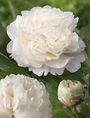 green works is the trustfull partner for a succesfull peony cultivation checkout our divers and unique paeonia peonies cut flower assortment - How To Cut Peonies