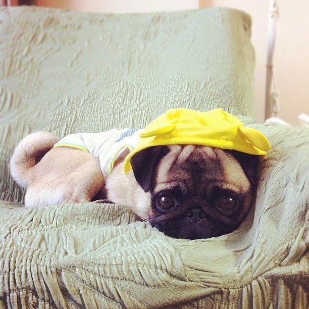 Pug Puppies - Pug