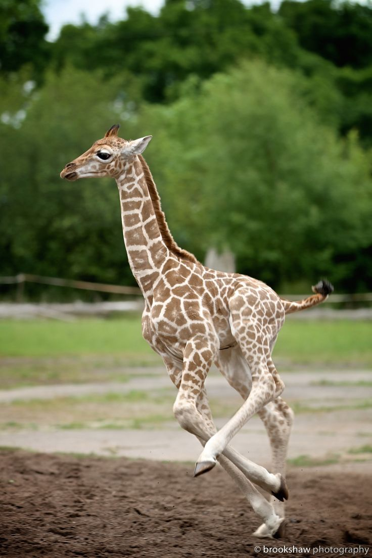 a-beautifully-romantic-soul: brookshawphotography: Another shot of Sanyu, a two-week-old male Rothschild giraffe at Chester Zoo.Just because…baby giraffes running are so cute! ;-)