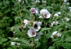 Marsh-Mallow, Althaea officinalis - perennial,2'-4', sun, wet,can do clay, all of plant edible, medicinal. Blooms July-September, Cut back after flowering for more flowers