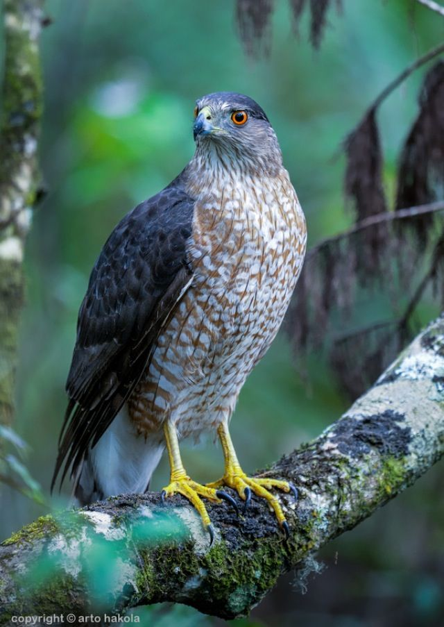 cooper's hawk (Accipiter cooperii) is a medium-sized hawk  native to the North American  continent and found from Southern Canada  to Northern Mexico . As in many birds of prey , the male is smaller than the female.