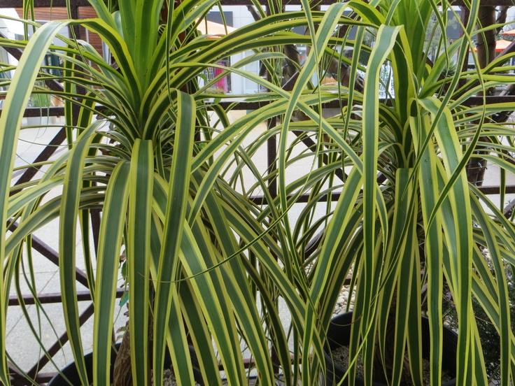 images  succulents  pinterest growing