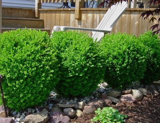 Winter Gem Boxwood - evergreen for screen