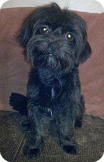 Rockport, TX - Standard Schnauzer/Terrier (Unknown Type, Medium) Mix. Meet COLE a Dog for Adoption.