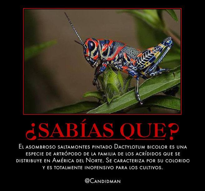#Curiosidades #SabiasQue El asombroso #Saltamontes pintado #Dactylotum bicolor es una especie de artrópodo de la familia de los acrídid ...