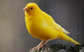canaries birds  http://1bestbirds.blogspot.com/2013/08/canaries-birds.html