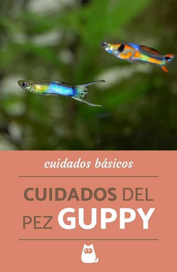 Cuidados básicos del pez guppy, ¡todo lo que debes saber! #ExpertoAnimal #MundoAnimal #ReinoAnimal #Animales #Naturaleza #Mar #Océano #AnimalesMarinos #AnimalesAcuáticos #Guppy #Peces #Acuario #Infografia