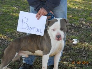 Bashful is an adoptable American Staffordshire Terrier Dog in Olney, IL. This is one of the seven court cases he is very calm  very watchful will need training very scared...