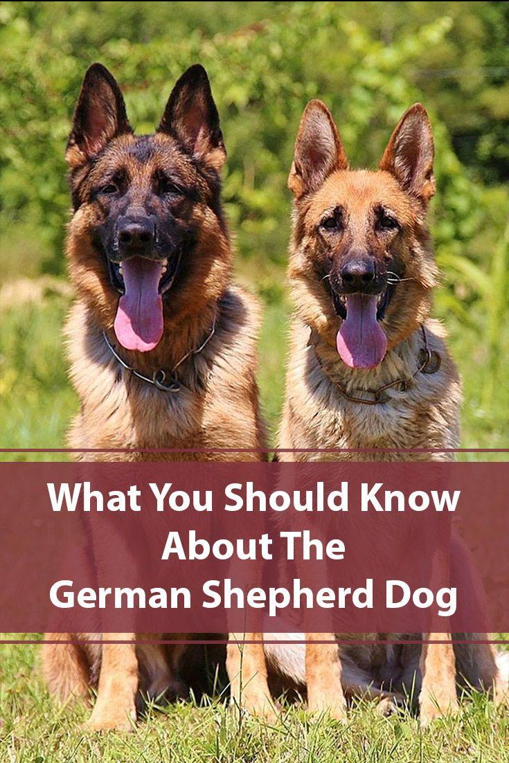 9 Reasons For Owning A German Shepherd German Shepherd Training