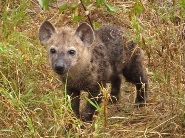 Hyena cub in Botswana