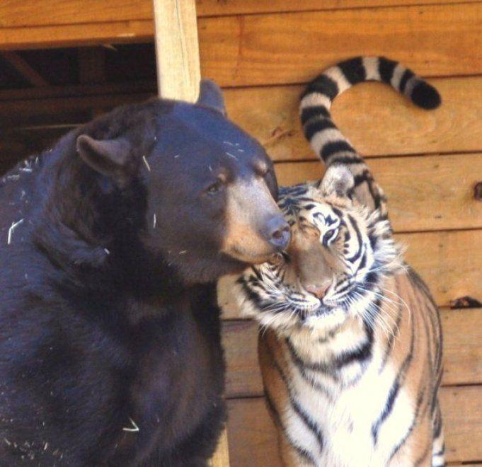 Un leone, un orso e una tigre: tre fratelli inseparabili