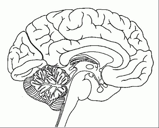 8 best human brain coloring pages images on pinterest anatomy of brain coloring sheet ccuart Images
